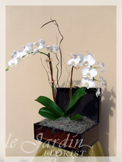 Double Stem Imperial Orchids in Le Jardin Treasure Chest Container